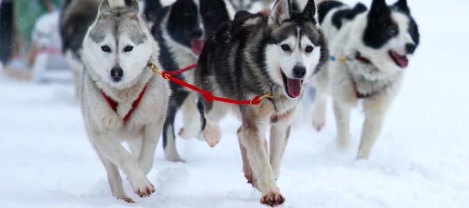 Husky-Ausfahrt im Winterurlaub